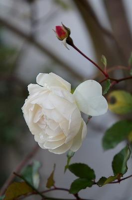 バラ冬の 008.jpg