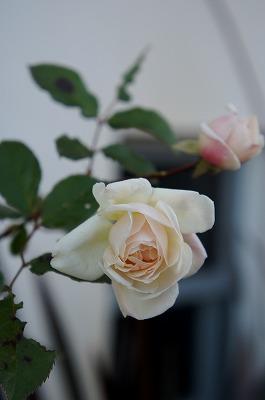 バラ冬の 021.jpg