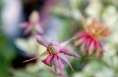 バラ冬の 075.jpg