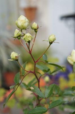 バラ冬の 109.jpg