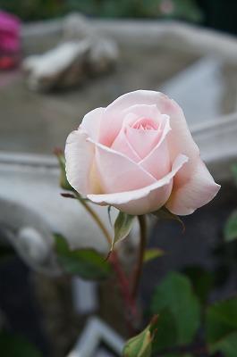 薔薇 016.jpg