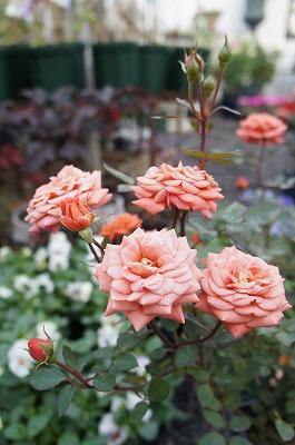 薔薇 064.jpg