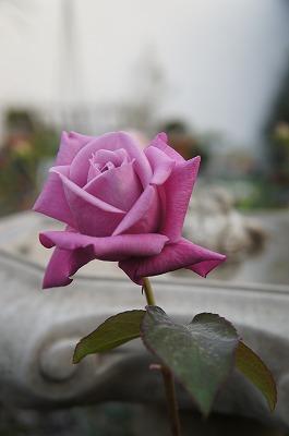 薔薇 083.jpg